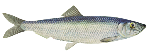 Pacific Herring
