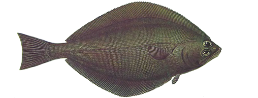 Arrowtooth Halibut