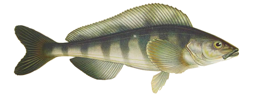 Atka Mackerel